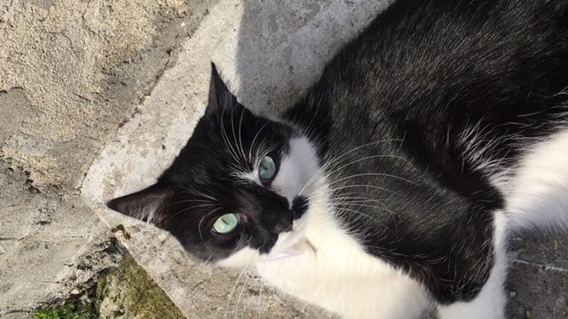 Chat perdu à Montreuil 93100 : Tongariro, Européen