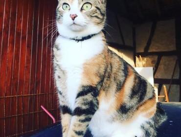 Chat perdu à Saint-Bonnet-en-Bresse 71310 : Risky, Autre