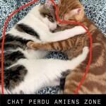 Chat perdu à Amiens 80480 : MILAN, Européen