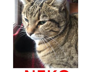 Chat perdu à Rosny-sous-Bois 93110 : NEKO, Européen