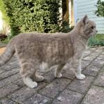 Chat trouvé à Maisons-Laffitte 78600,