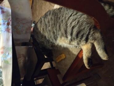 Chat perdu à Auxonne 21130 : Gribouille, Chat de gouttière