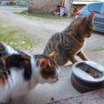 Chat perdu à Nogent 52800 : futée, Européen