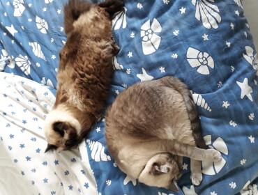 Chat perdu à : titine , Siamois