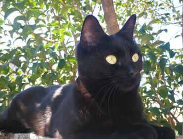 Chat perdu à Palau-del-Vidre 66690 : Naguini , Européen