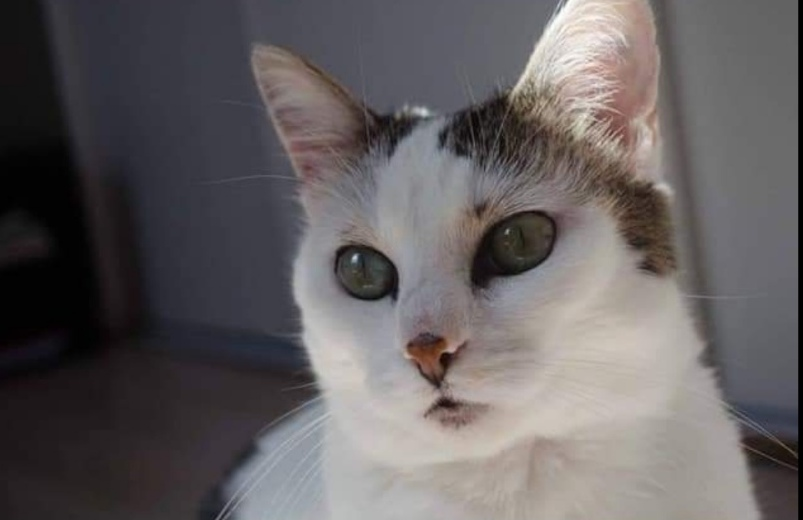 Chat perdu à   : ELFY, Européen