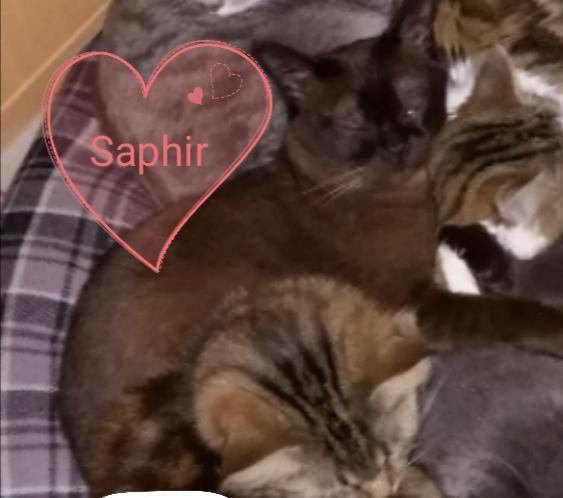 Chat perdu à Vermenton 89270 : Saphir , Autre
