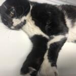 Chat trouvé à Milly-la-Forêt 91490, Chat de gouttière