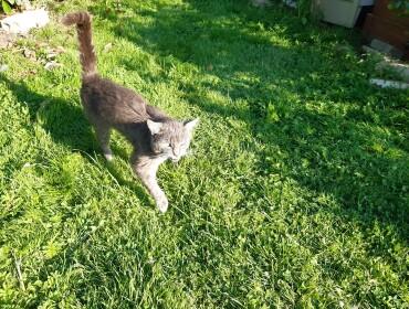 Chat trouvé à Vennans 25640, Européen
