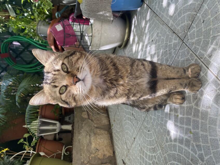 Chat perdu à Nice 06000 : Simba, Européen