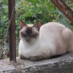 Chat perdu à Valréas 84600 : Ikar, Siamois
