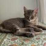 Chat perdu à Fontenay-sous-Bois 94120 : Meiko, Croisé