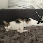 Chat perdu à Bayonne 64100 : Cosmo, Chat de gouttière
