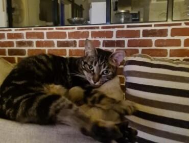Chat perdu à Moussan 11120 : Mimine, Chat de gouttière