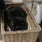 Chat perdu à Chelles 77500 : Kirikou, Chat de gouttière