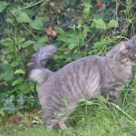 Chat perdu à Laon 02000 : Ragnar, Européen