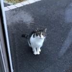 Chat trouvé à Bourg-Achard 27310, Européen